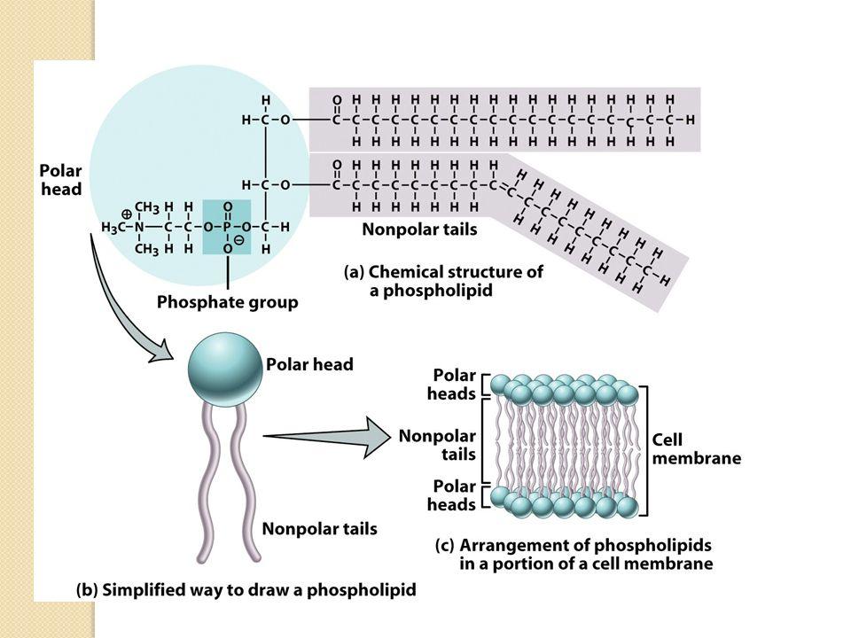 En este tema nos vamos a centrar en el estudio de la membrana plasmática.