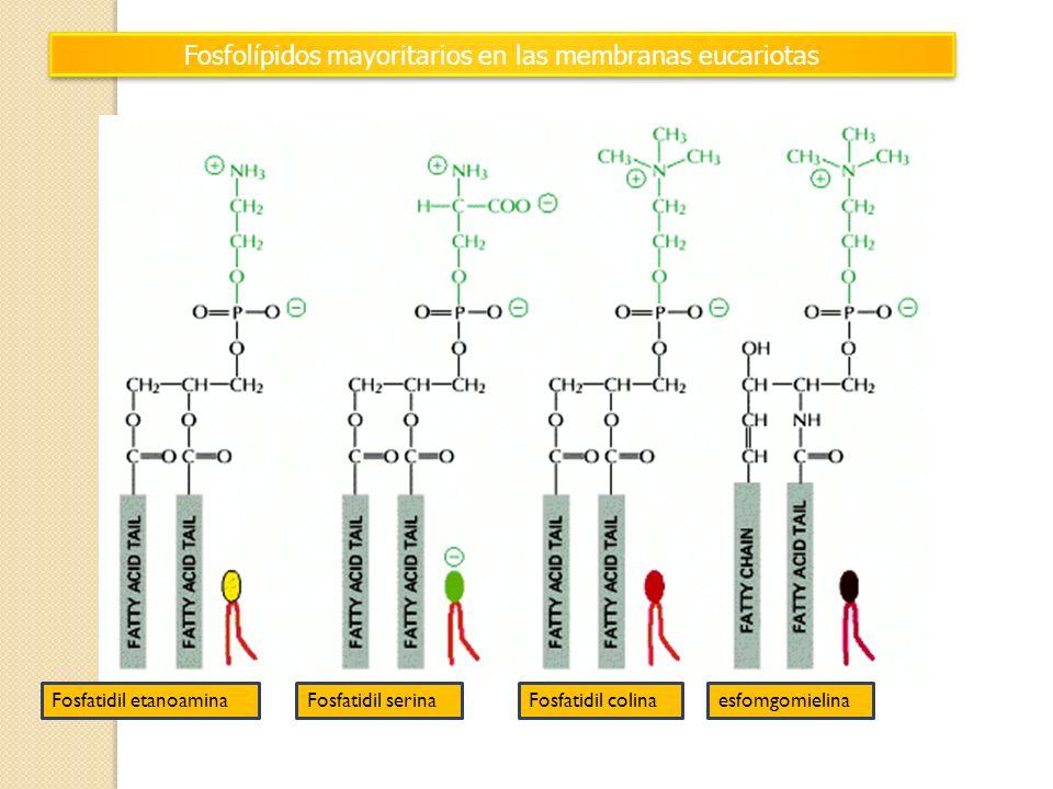 Fosfolípidos mayoritarios en las membranas eucariotas