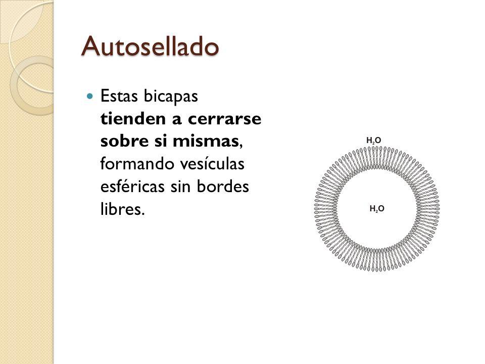 Autosellado Estas bicapas tienden a cerrarse sobre si mismas, formando vesículas esféricas sin bordes libres.