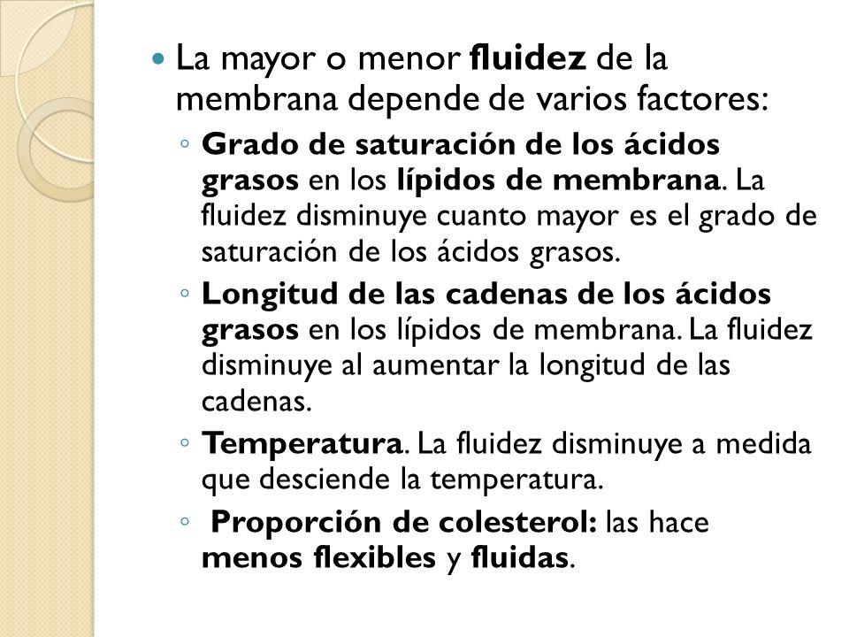 La mayor o menor fluidez de la membrana depende de varios factores:
