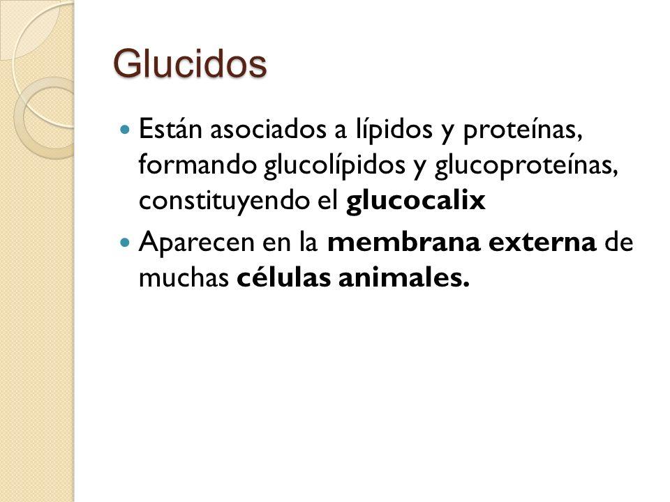 Glucidos Están asociados a lípidos y proteínas, formando glucolípidos y glucoproteínas, constituyendo el glucocalix.