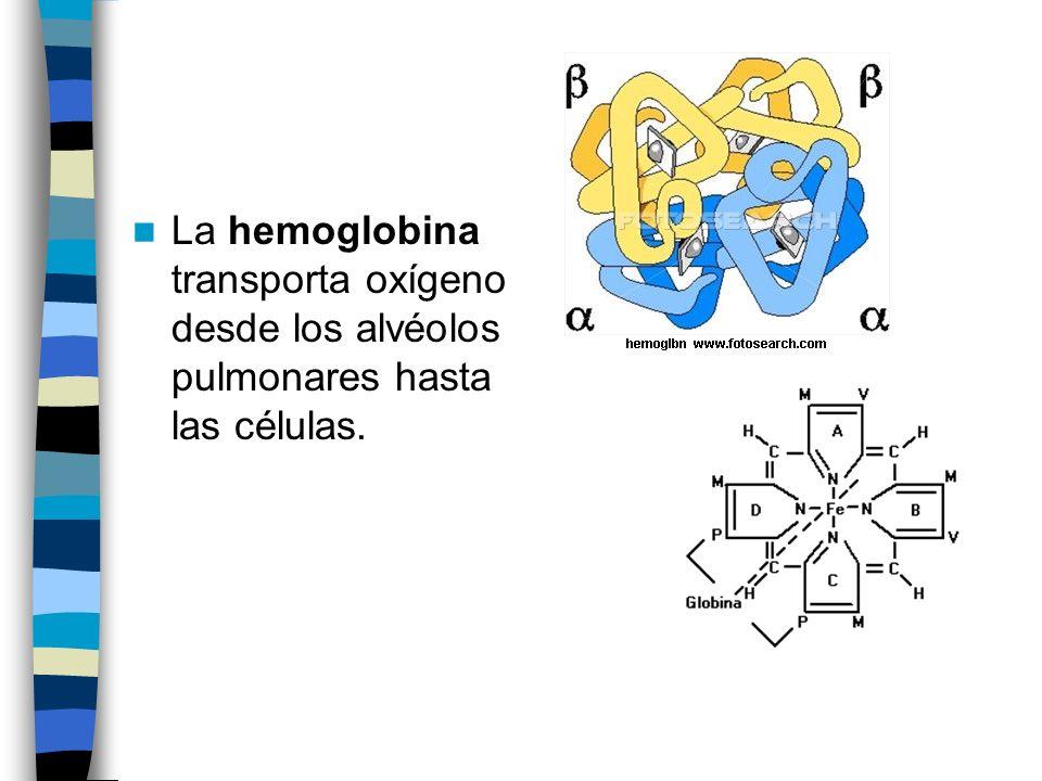 La hemoglobina transporta oxígeno desde los alvéolos pulmonares hasta las células.