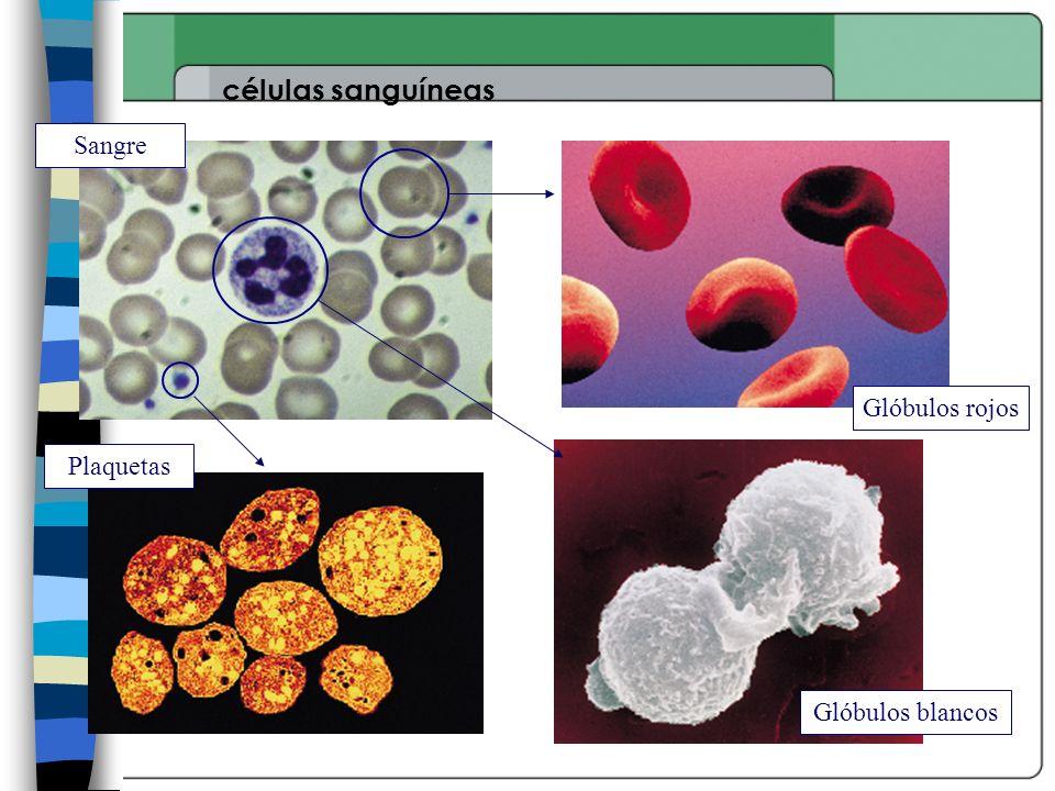 células sanguíneas Sangre Glóbulos rojos Plaquetas Glóbulos blancos