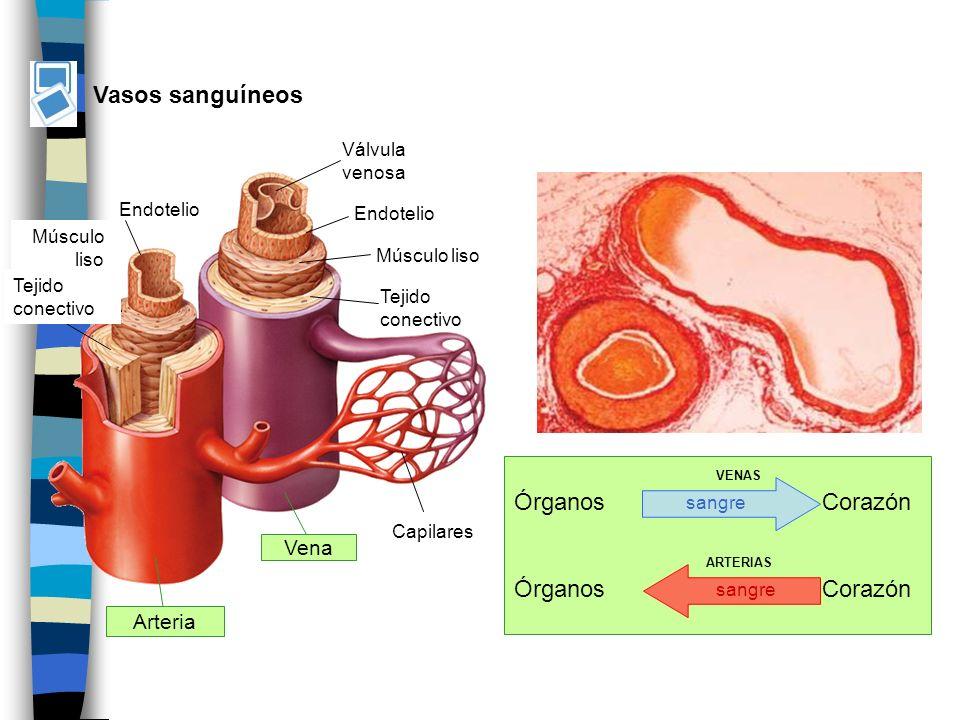 Vasos sanguíneos Órganos Corazón Vena Arteria Válvula venosa Endotelio