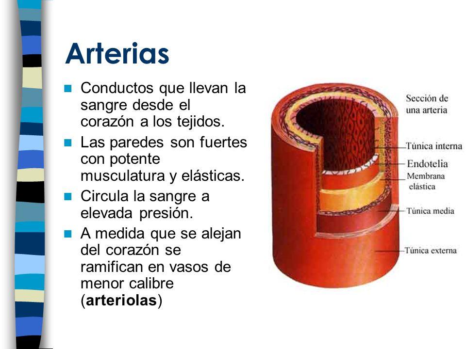 Arterias Conductos que llevan la sangre desde el corazón a los tejidos. Las paredes son fuertes con potente musculatura y elásticas.
