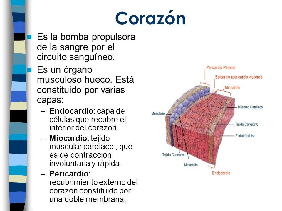 Corazón Es la bomba propulsora de la sangre por el circuito sanguíneo.