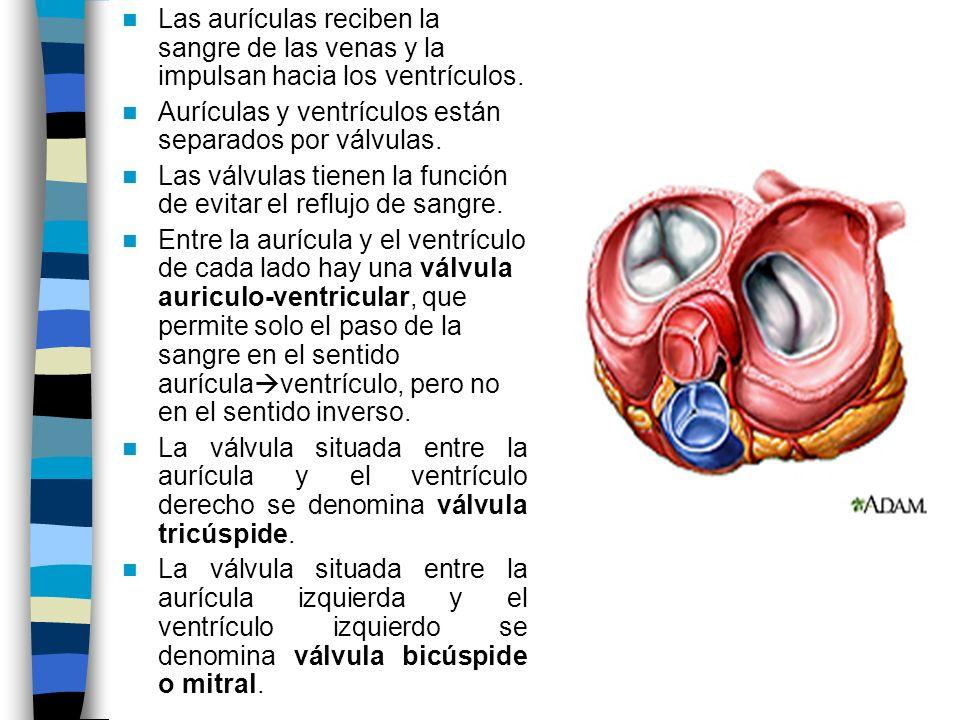 Las aurículas reciben la sangre de las venas y la impulsan hacia los ventrículos.