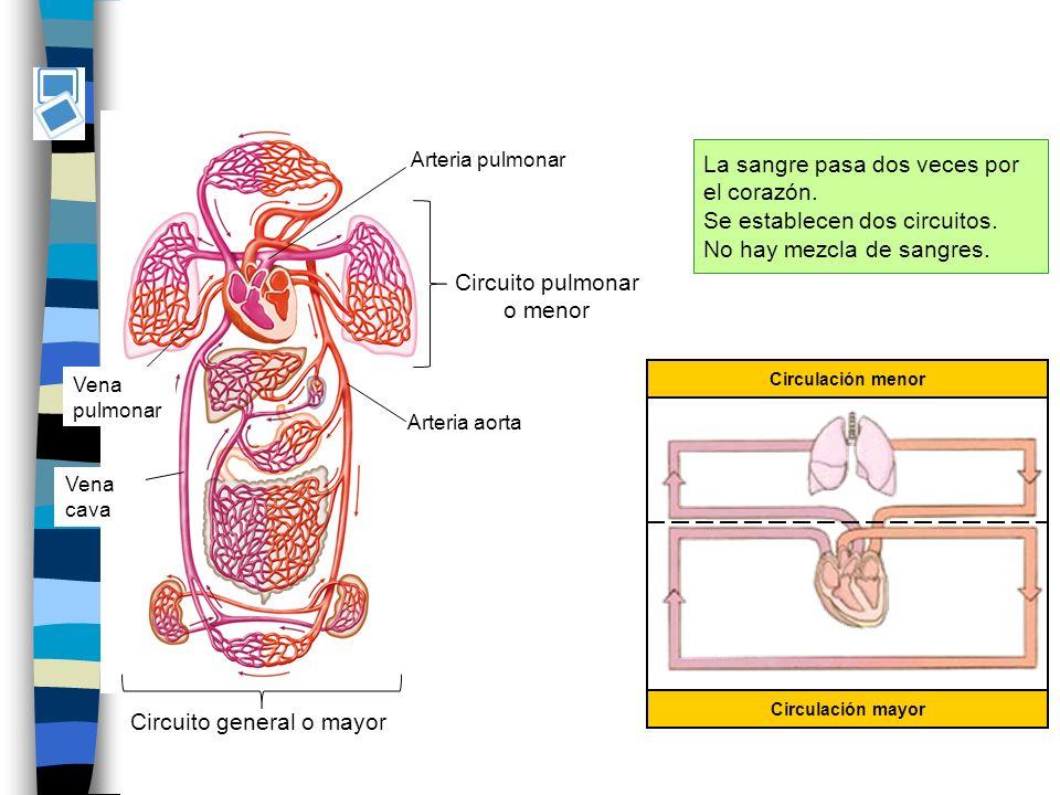 La sangre pasa dos veces por el corazón. Se establecen dos circuitos.