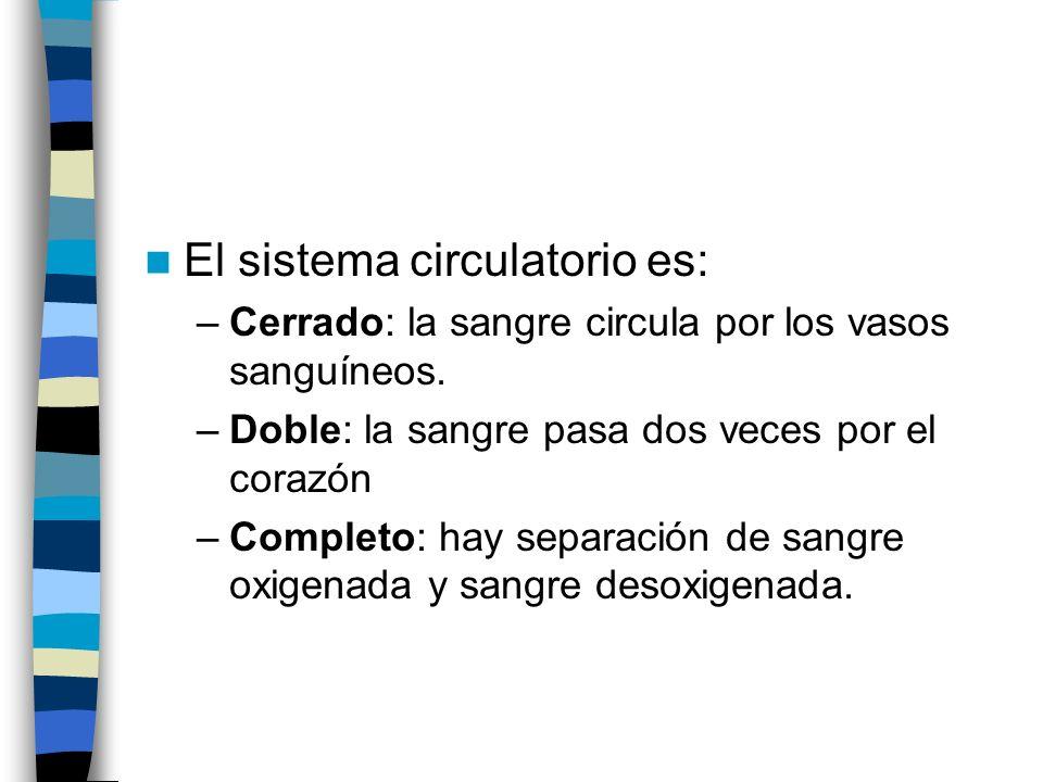 El sistema circulatorio es: