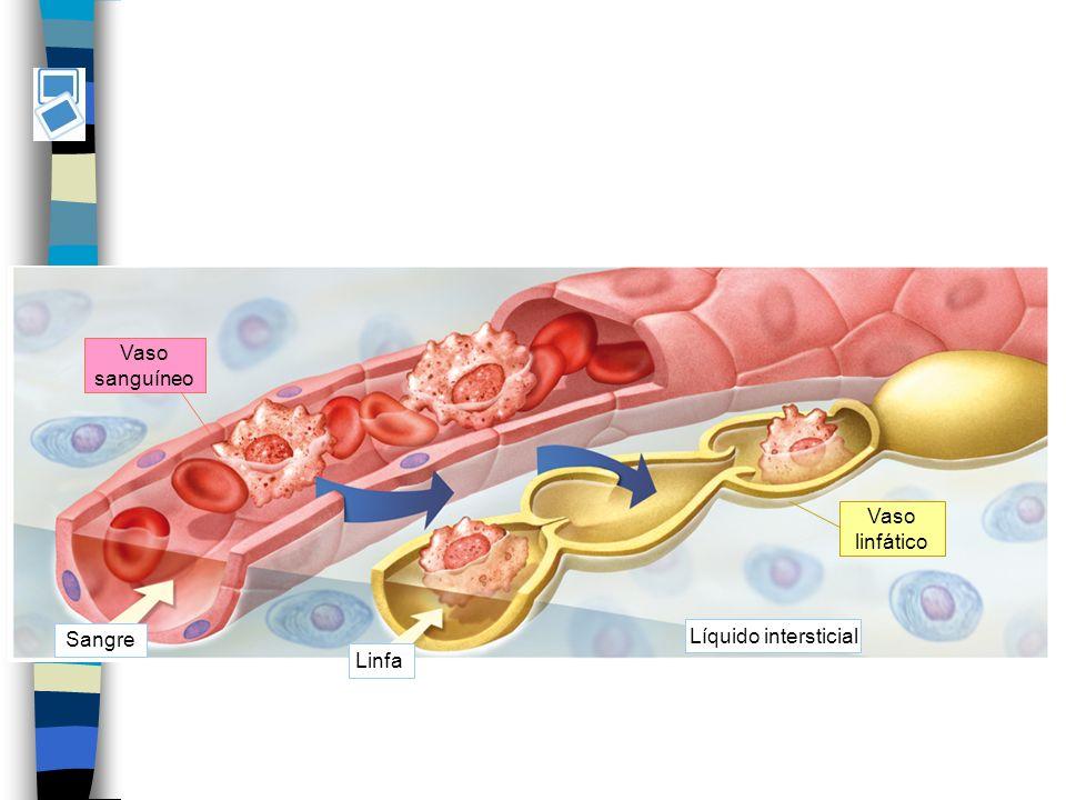 Vaso sanguíneo Vaso linfático Sangre Líquido intersticial Linfa