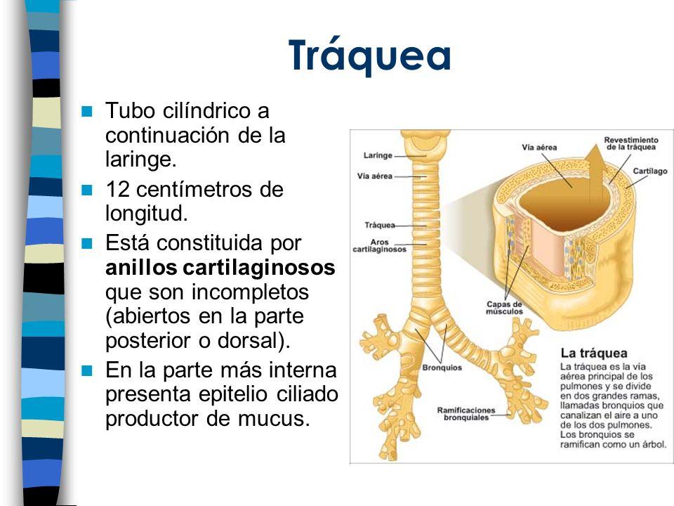 Tráquea Tubo cilíndrico a continuación de la laringe.