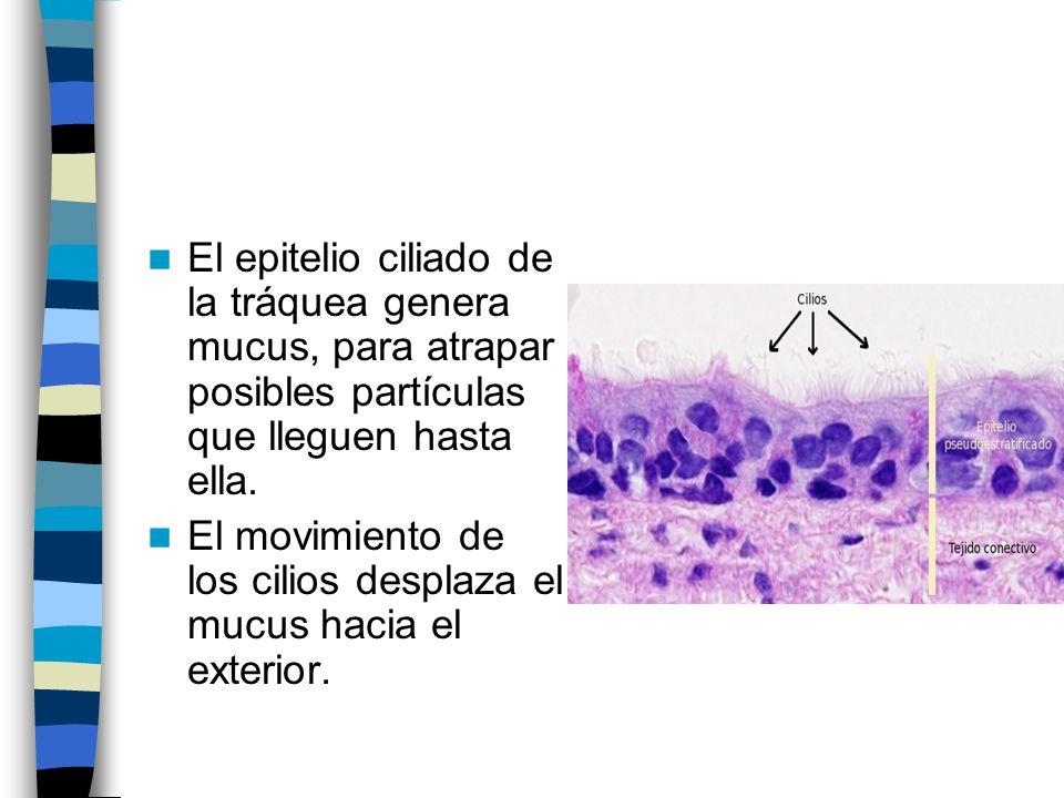 El epitelio ciliado de la tráquea genera mucus, para atrapar posibles partículas que lleguen hasta ella.