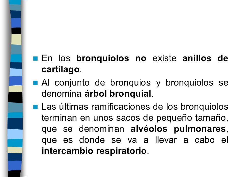 En los bronquiolos no existe anillos de cartílago.