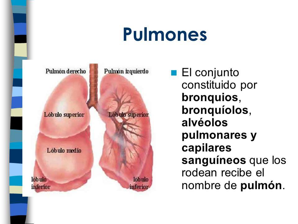 Pulmones El conjunto constituido por bronquios, bronquíolos, alvéolos pulmonares y capilares sanguíneos que los rodean recibe el nombre de pulmón.