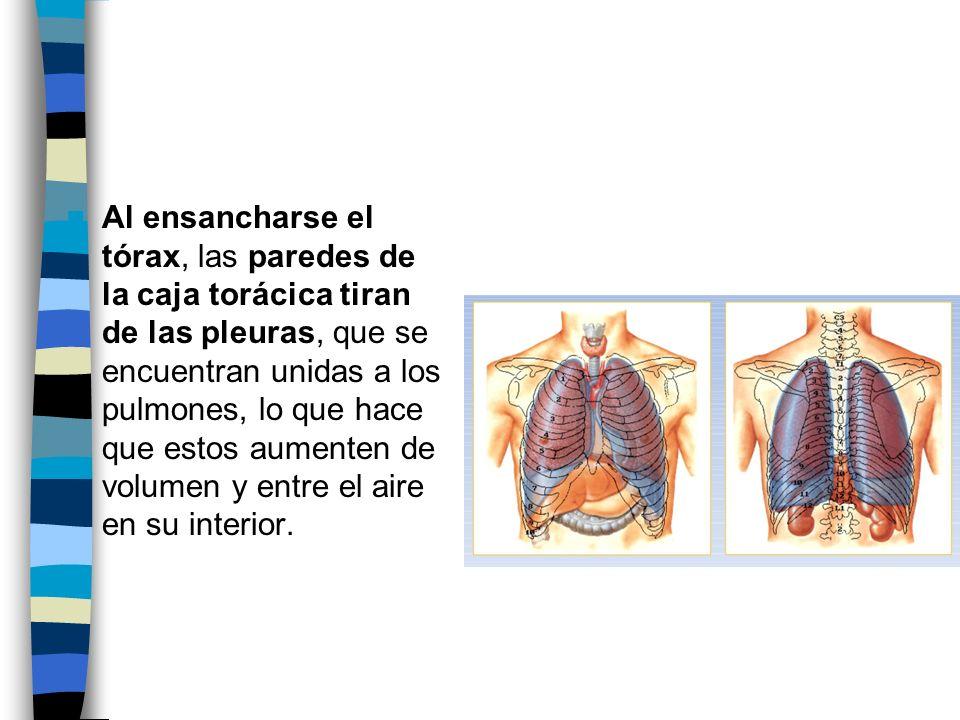 Al ensancharse el tórax, las paredes de la caja torácica tiran de las pleuras, que se encuentran unidas a los pulmones, lo que hace que estos aumenten de volumen y entre el aire en su interior.