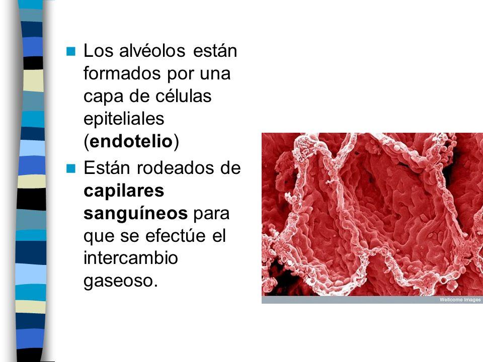 Los alvéolos están formados por una capa de células epiteliales (endotelio)