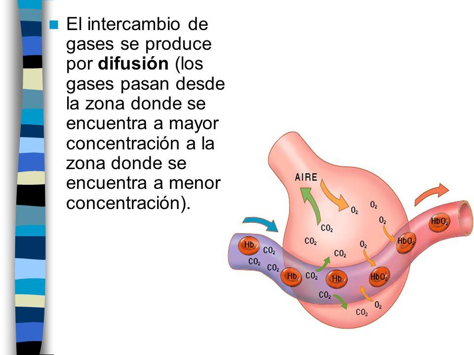 El intercambio de gases se produce por difusión (los gases pasan desde la zona donde se encuentra a mayor concentración a la zona donde se encuentra a menor concentración).