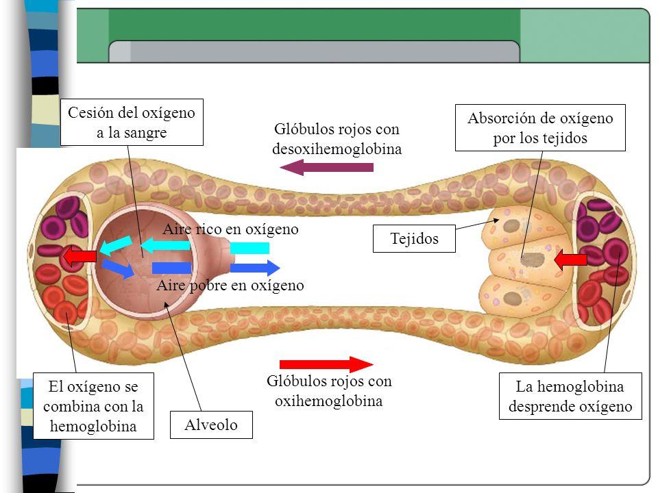 Cesión del oxígeno a la sangre Absorción de oxígeno por los tejidos