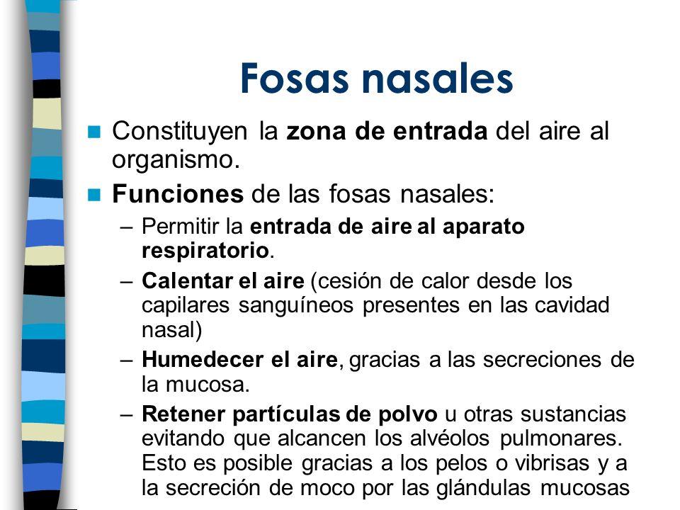Fosas nasales Constituyen la zona de entrada del aire al organismo.