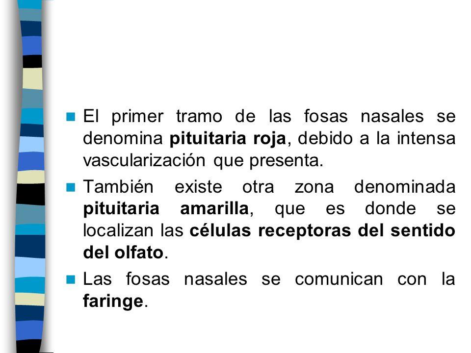 El primer tramo de las fosas nasales se denomina pituitaria roja, debido a la intensa vascularización que presenta.