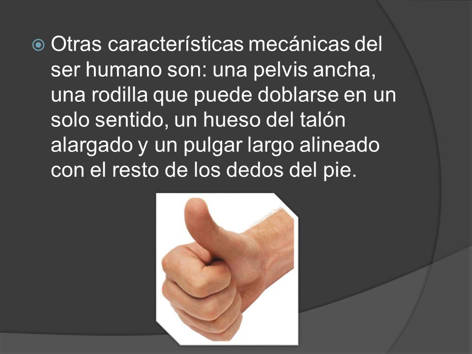Otras características mecánicas del ser humano son: una pelvis ancha, una rodilla que puede doblarse en un solo sentido, un hueso del talón alargado y un pulgar largo alineado con el resto de los dedos del pie.