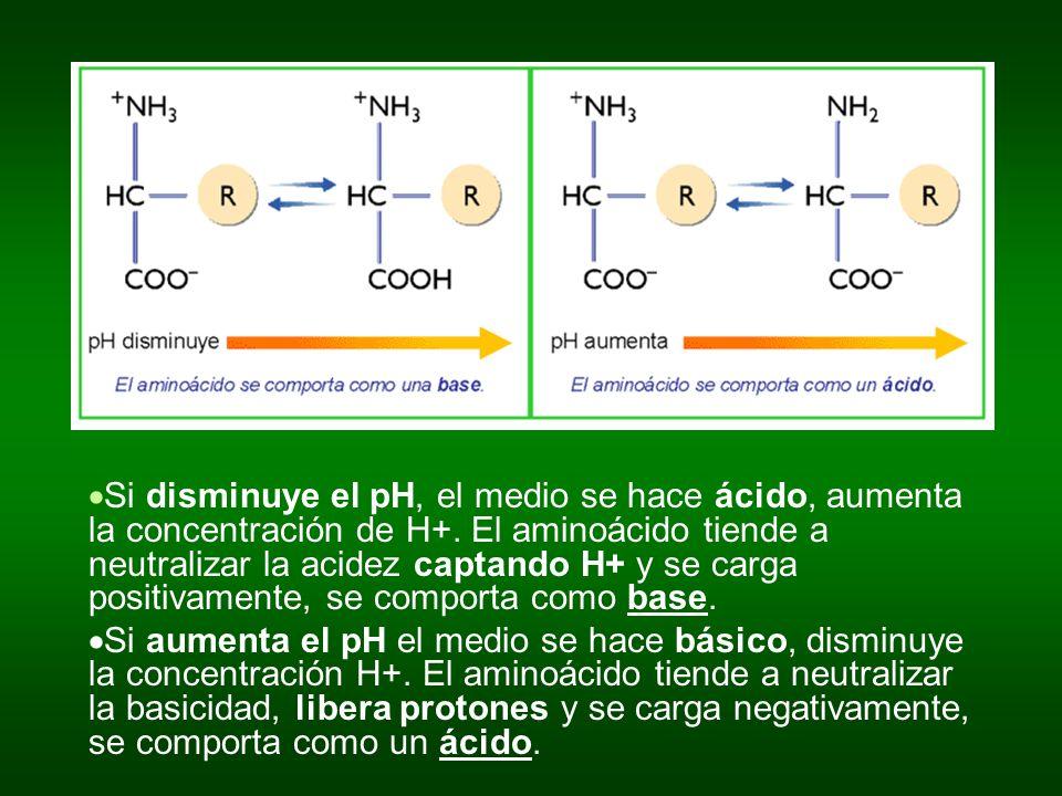Si disminuye el pH, el medio se hace ácido, aumenta la concentración de H+. El aminoácido tiende a neutralizar la acidez captando H+ y se carga positivamente, se comporta como base.