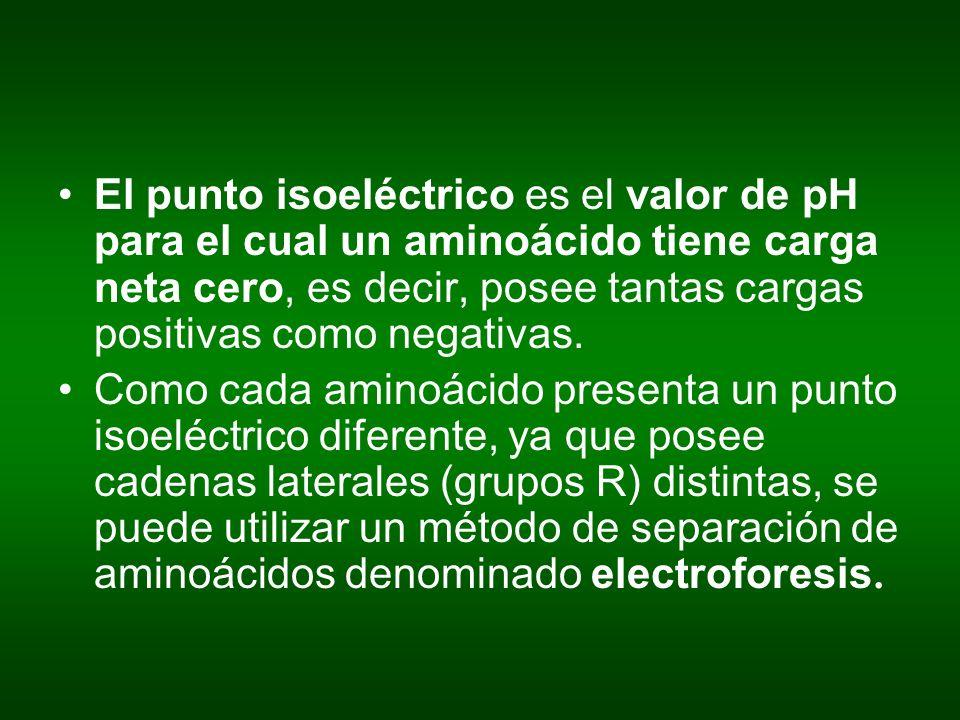 El punto isoeléctrico es el valor de pH para el cual un aminoácido tiene carga neta cero, es decir, posee tantas cargas positivas como negativas.