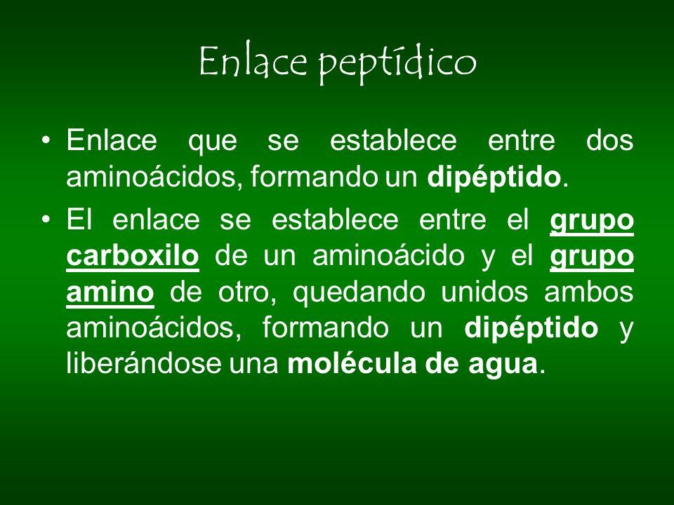 Enlace peptídico Enlace que se establece entre dos aminoácidos, formando un dipéptido.