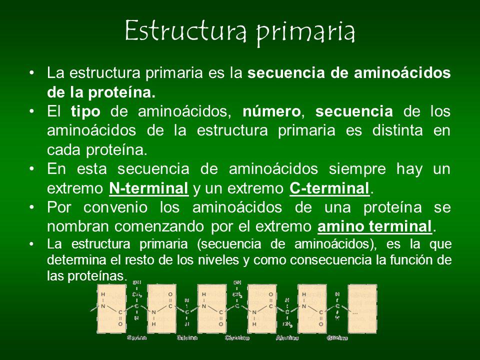 Estructura primaria La estructura primaria es la secuencia de aminoácidos de la proteína.