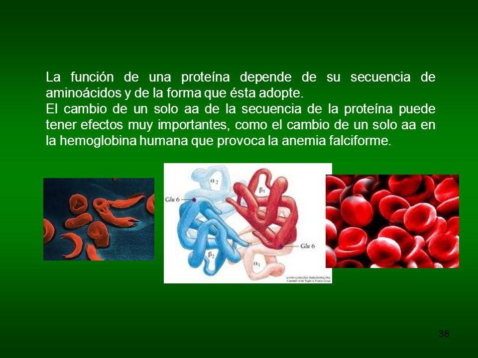 La función de una proteína depende de su secuencia de aminoácidos y de la forma que ésta adopte.