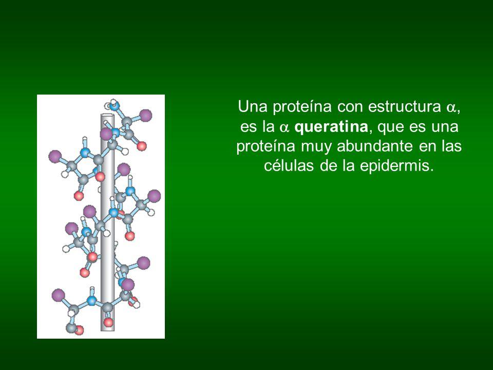 Una proteína con estructura a, es la a queratina, que es una proteína muy abundante en las células de la epidermis.