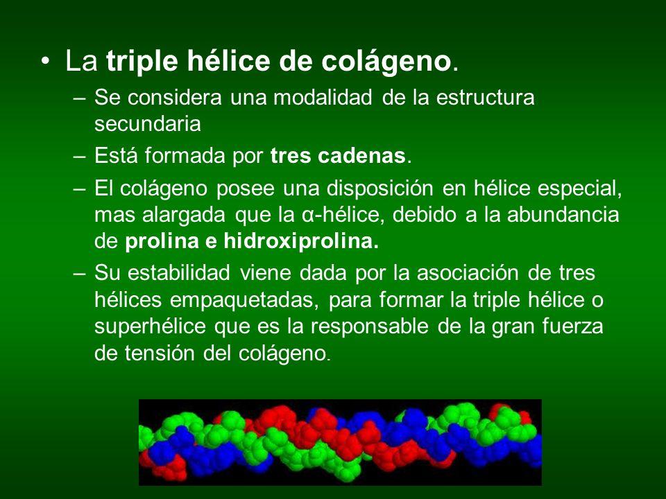 La triple hélice de colágeno.