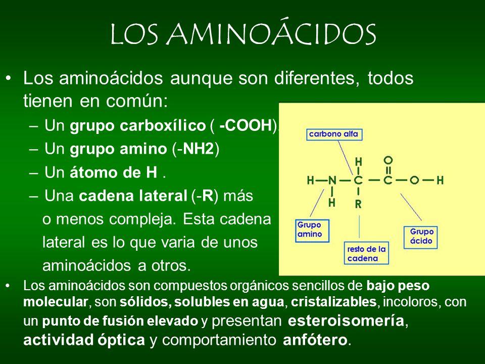 LOS AMINOÁCIDOS Los aminoácidos aunque son diferentes, todos tienen en común: Un grupo carboxílico ( -COOH).