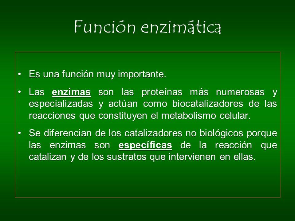 Función enzimática Es una función muy importante.