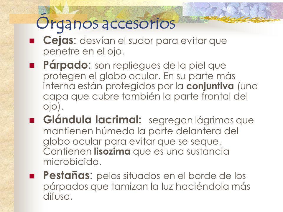 Órganos accesorios Cejas: desvían el sudor para evitar que penetre en el ojo.
