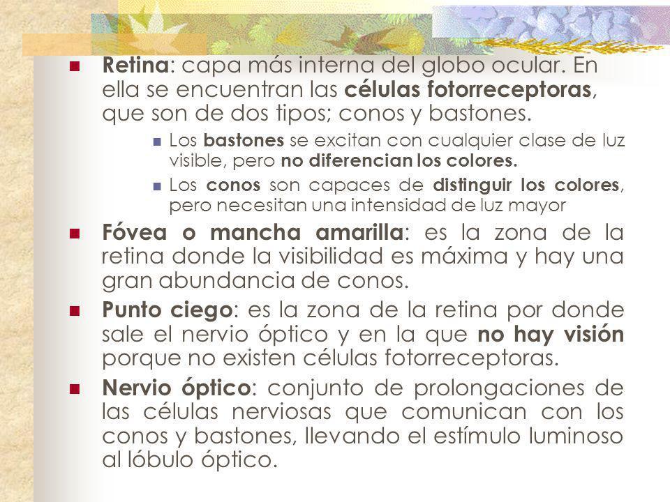 Retina: capa más interna del globo ocular