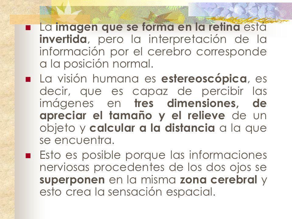 La imagen que se forma en la retina está invertida, pero la interpretación de la información por el cerebro corresponde a la posición normal.