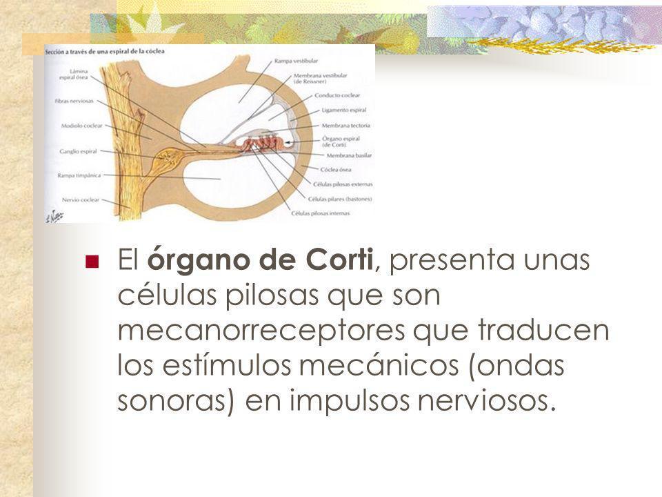 El órgano de Corti, presenta unas células pilosas que son mecanorreceptores que traducen los estímulos mecánicos (ondas sonoras) en impulsos nerviosos.