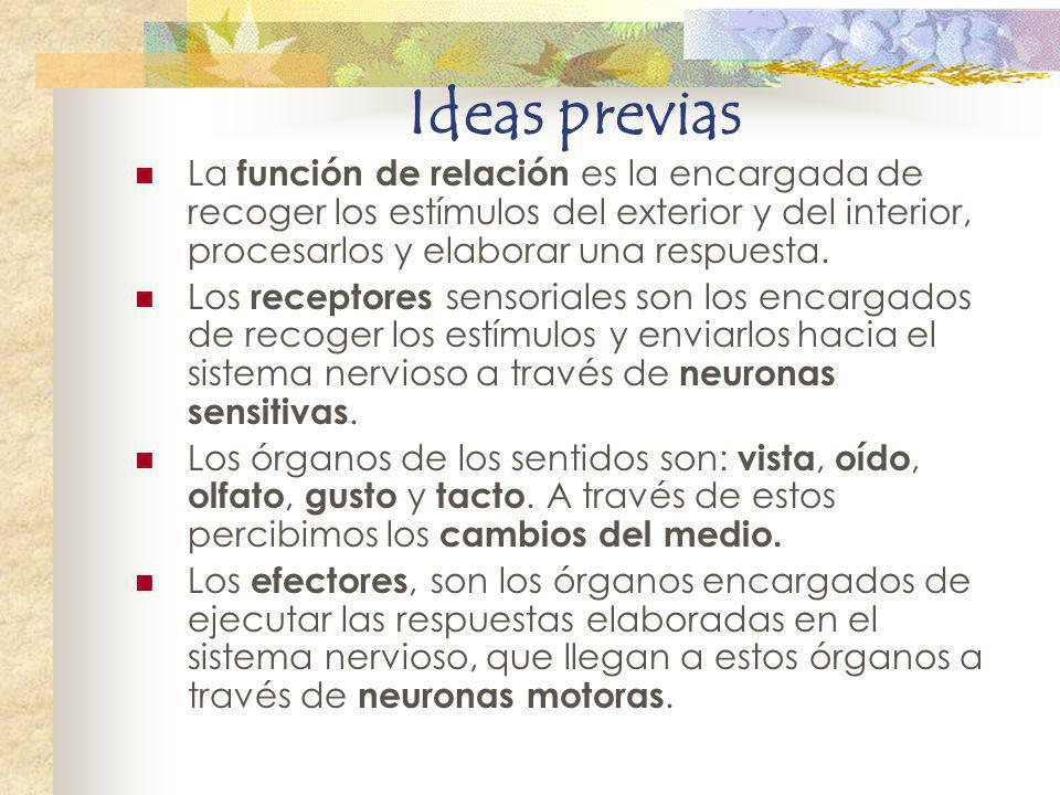 Ideas previas La función de relación es la encargada de recoger los estímulos del exterior y del interior, procesarlos y elaborar una respuesta.