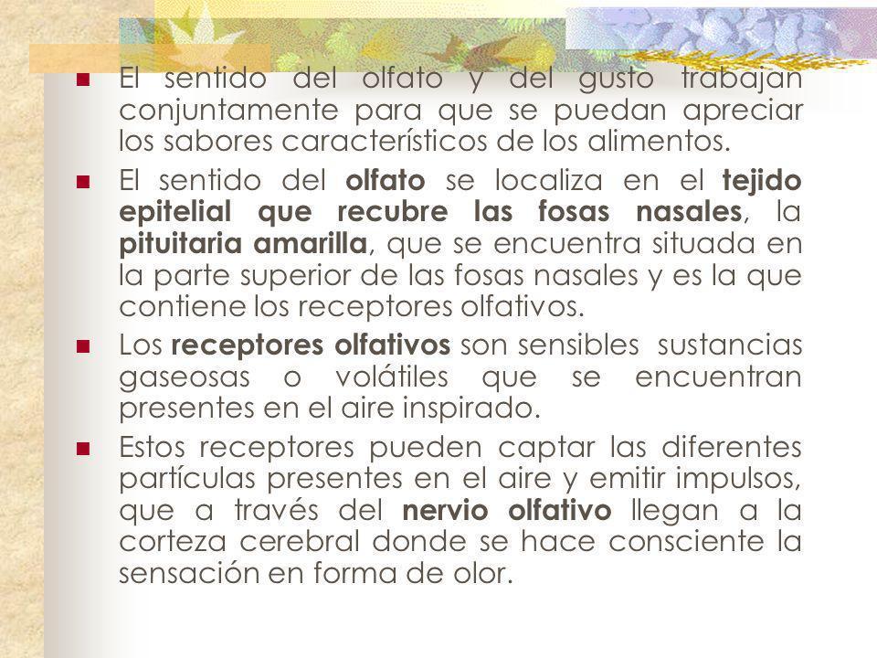 El sentido del olfato y del gusto trabajan conjuntamente para que se puedan apreciar los sabores característicos de los alimentos.