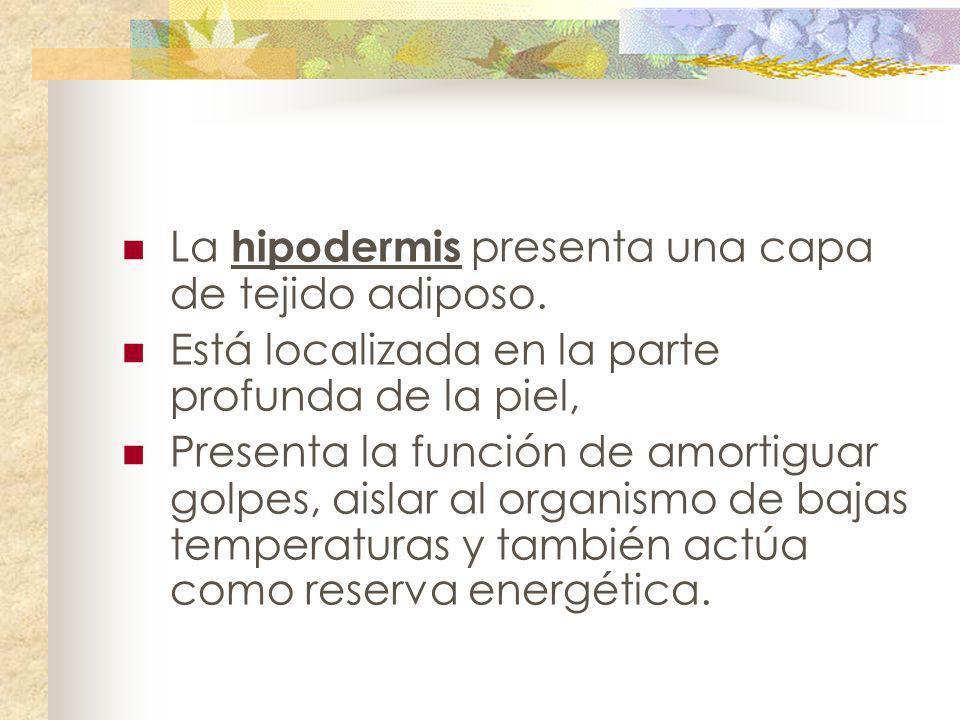La hipodermis presenta una capa de tejido adiposo.