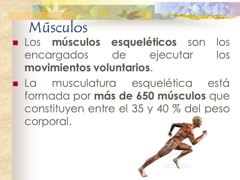 Músculos Los músculos esqueléticos son los encargados de ejecutar los movimientos voluntarios.