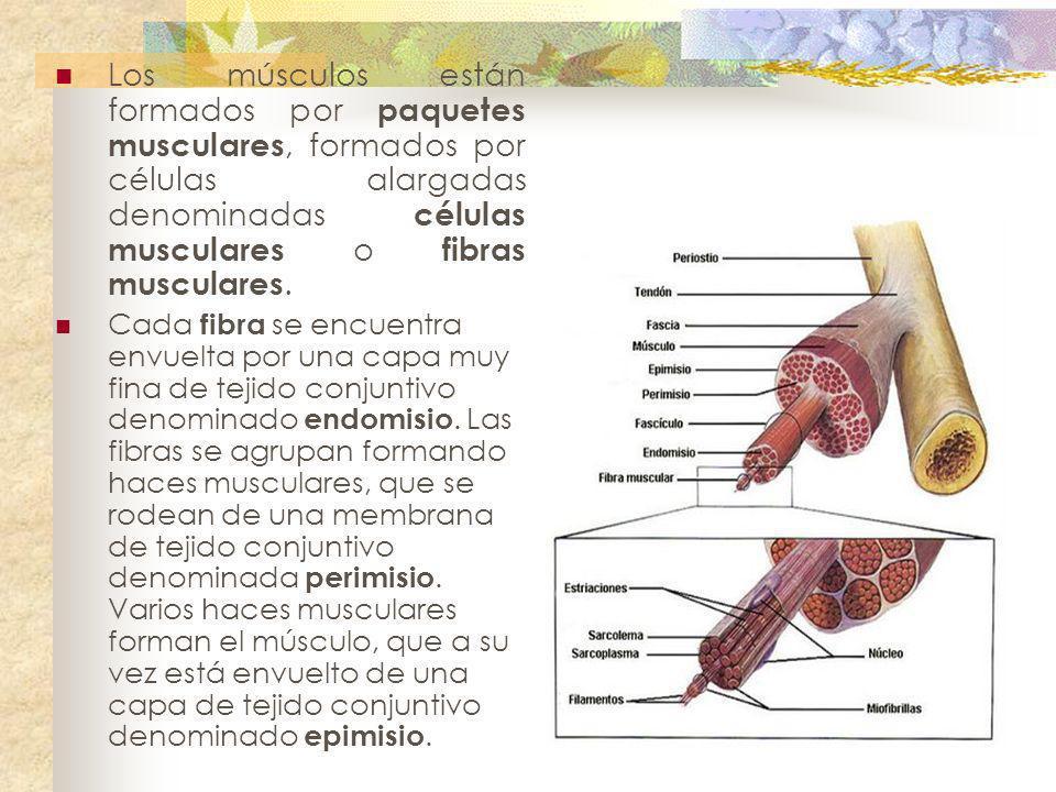 Los músculos están formados por paquetes musculares, formados por células alargadas denominadas células musculares o fibras musculares.