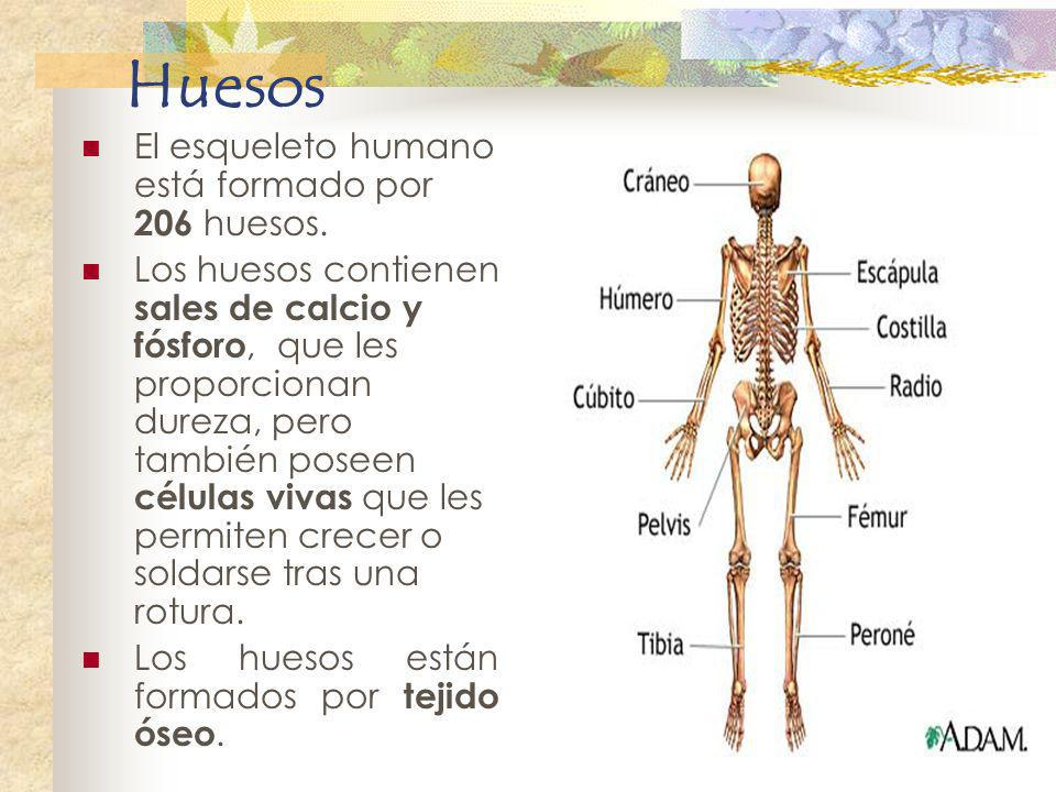 Huesos El esqueleto humano está formado por 206 huesos.