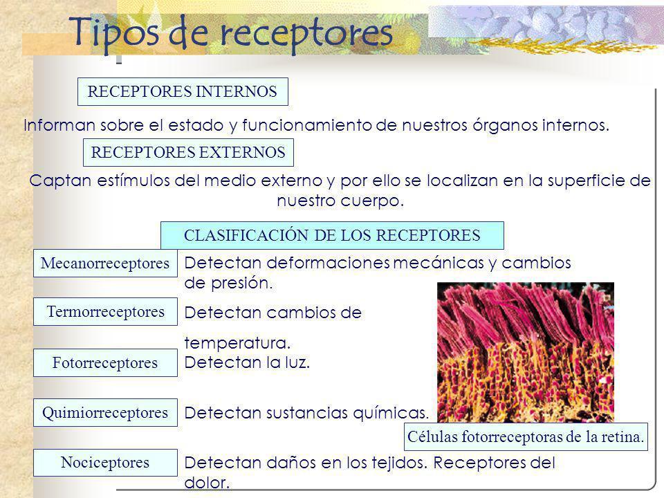 Tipos de receptores RECEPTORES INTERNOS