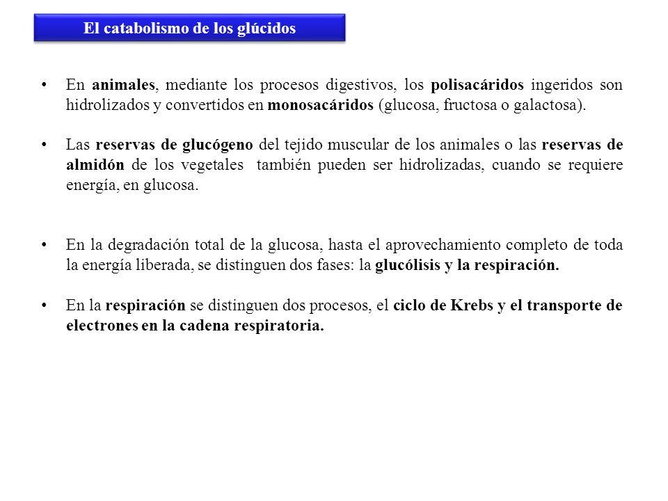 El catabolismo de los glúcidos