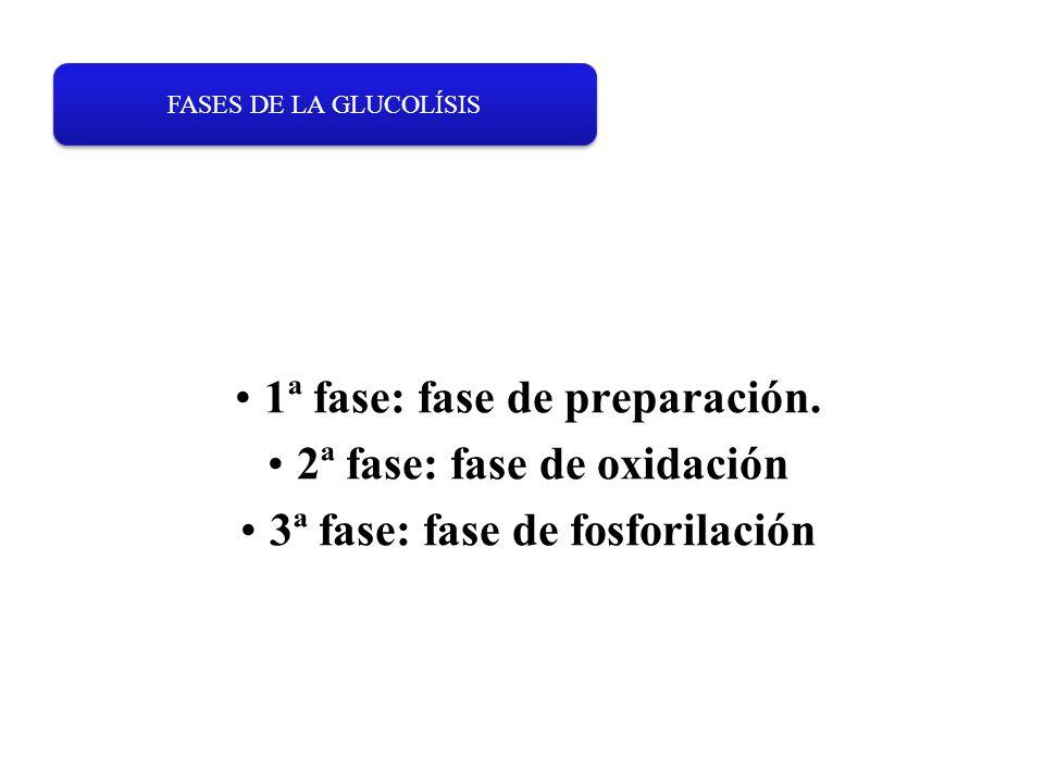 1ª fase: fase de preparación. 2ª fase: fase de oxidación