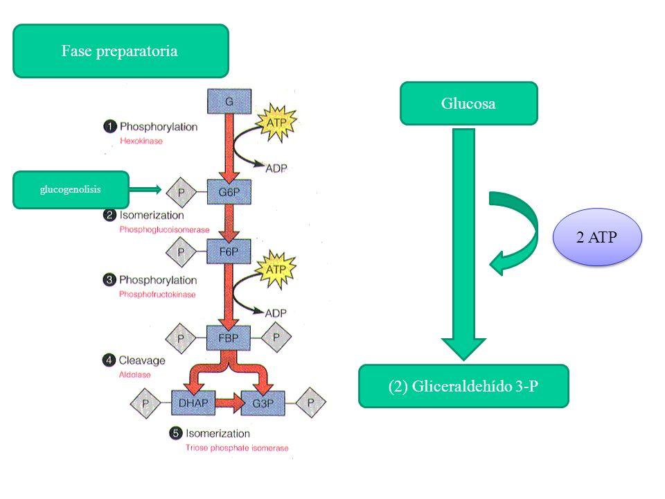 Fase preparatoria Glucosa glucogenolisis 2 ATP (2) Gliceraldehído 3-P