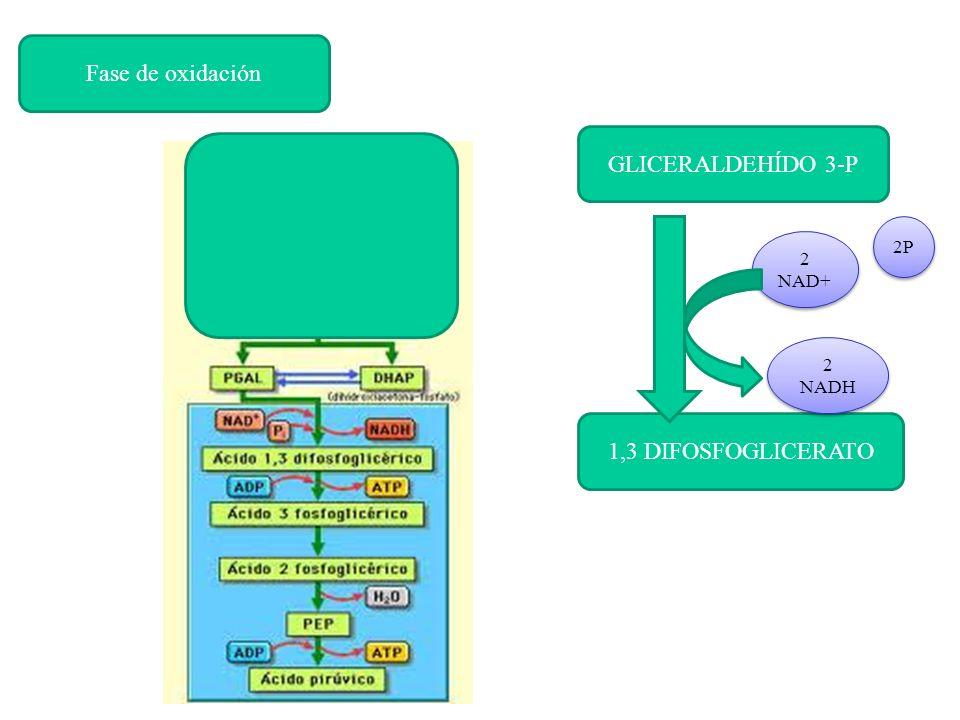 Fase de oxidación GLICERALDEHÍDO 3-P 1,3 DIFOSFOGLICERATO 2P 2 NAD+