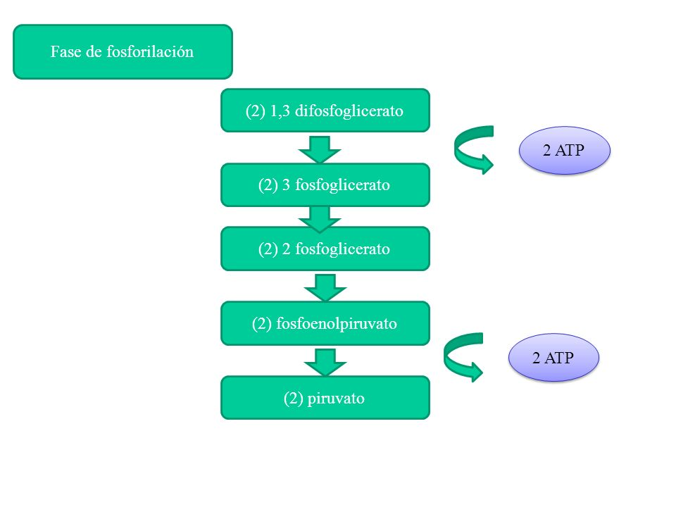 Fase de fosforilación(2) 1,3 difosfoglicerato. 2 ATP. (2) 3 fosfoglicerato. (2) 2 fosfoglicerato. (2) fosfoenolpiruvato.